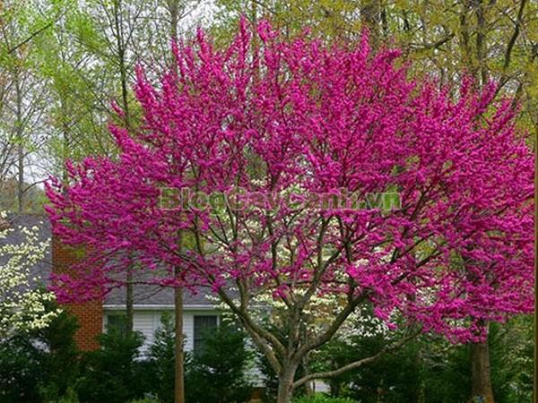 Cây Hoa Hạnh Phúc,cây hoa hạnh phúc, hình ảnh cây hoa hạnh phúc, cây hoa hạnh phúc đẹp, công dụng cây hoa hạnh phúc, cay hoa hanh phuc, cây hạnh phúc,