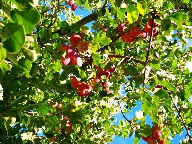 Cây táo tây khi chín,cây táo tây