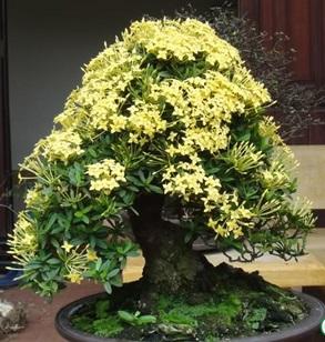 Hoa trang vàng
