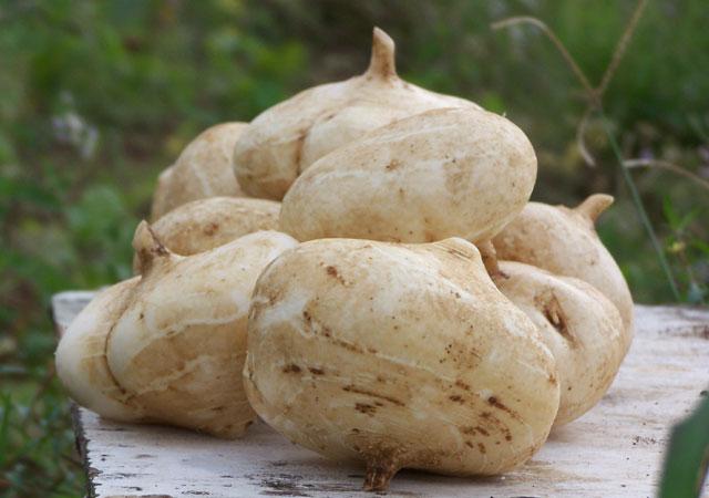 Cây củ đậu,củ đậu,củ sắn,sắn nước,cây sắn nước,pachyrhizus erosus,họ đậu,fabaceae