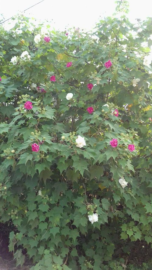 bán hoa Phù Dung,hoa phù dung