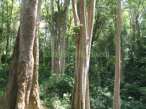 Cây Săng Lẻ,cây săng lẻ, cay sang le,Lagerstroemiatomentsa Presl, họ bằng lăng, họ Lythraceae, cây săng lẻ cổ thụ,