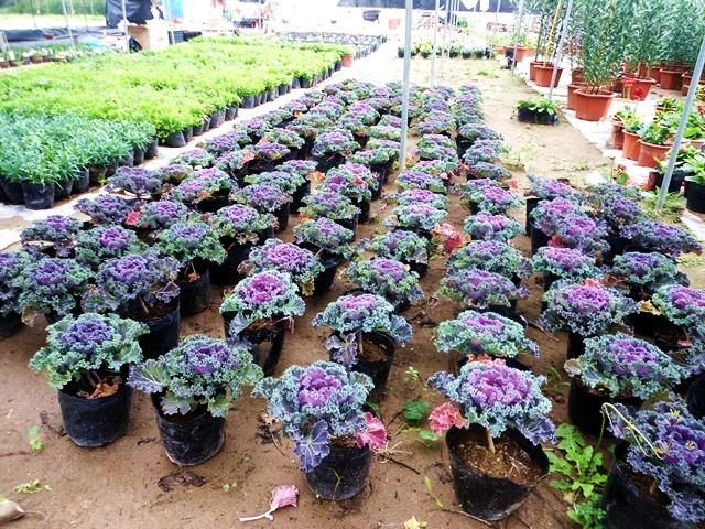 cách trồng hoa bắp cải