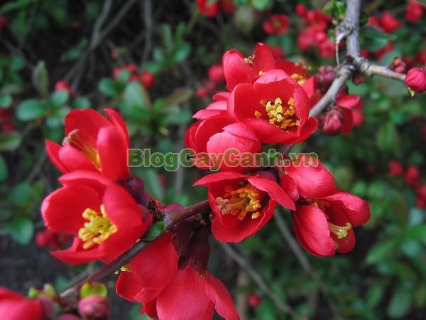 Cây Hoa Mai Đỏ (Cây mộc qua),cây hoa mai đỏ, công dụng cây mộc qua, trái mộc qua, cây mai đỏ, hình ảnh cây hoa mai đỏ, Chaenomeles Japonica, họ hoa Hồng, cây hoa mai đỏ đẹp, cây mai đỏ ngày tết, cây mộc qua,