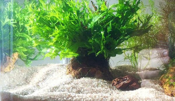 Dương xỉ sừng hươu,cây thủy sinh,cây dương xỉ,microsorum pteropus windelov