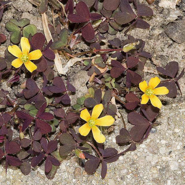 Chua me đất hoa vàng,chua me đất,cây me đất,me chua đất,me đất nhỏ,me chua đất hoa vàng,Oxalis corniculata