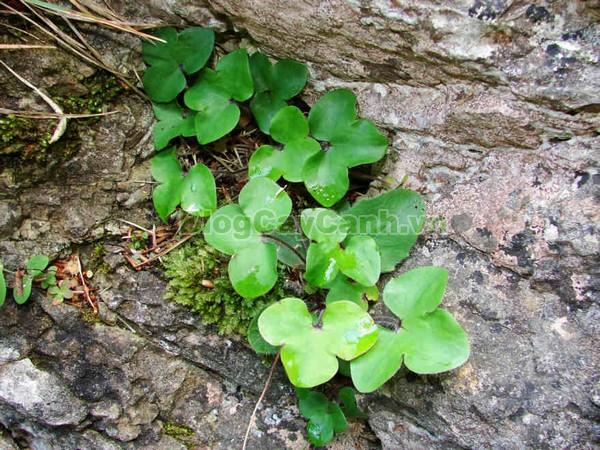 Cây Lá Gan,cây lá gan, công dụng cây lá gan, cây lá gan chữa bệnh, cay la gan, planto hepato,