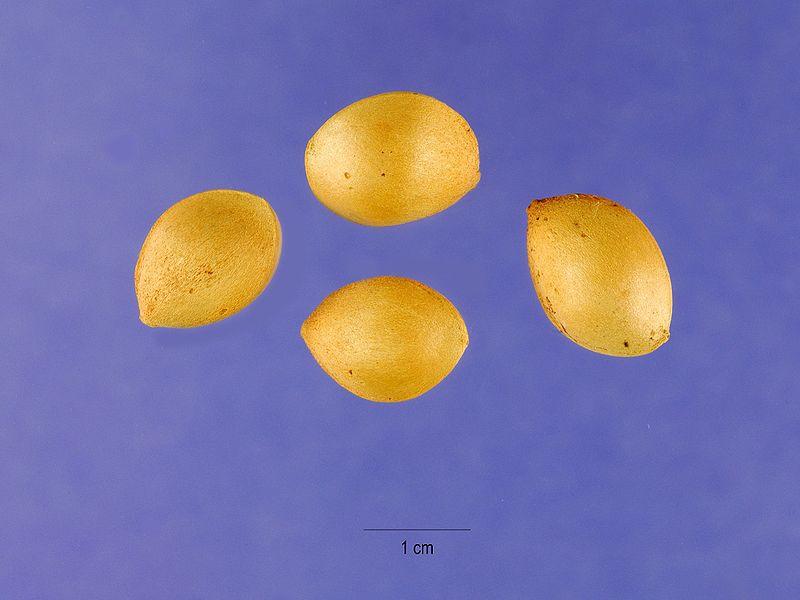 Hạt bạch quả