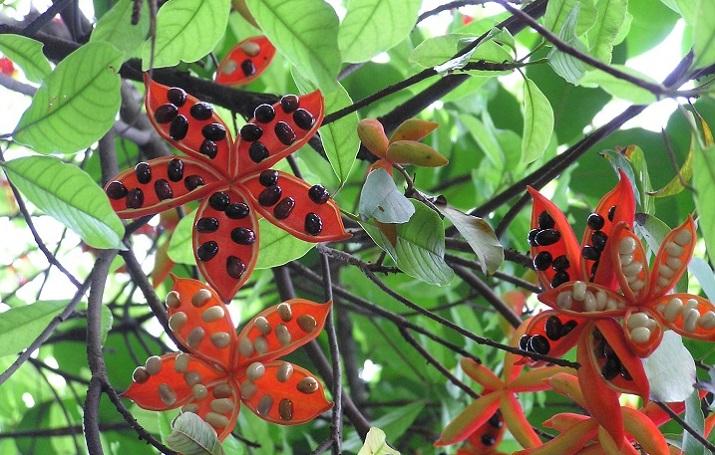Cây sang,cây giầu sang phú quý,cây sang trọng,cây phong thủy,sterculia lanceolata,cây công trình