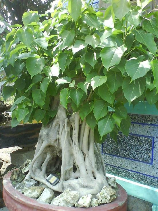 Cây bồ đề,Cây bồ đề,cay bo de,cây đề,cây giác ngộ,Ficus Religiosa