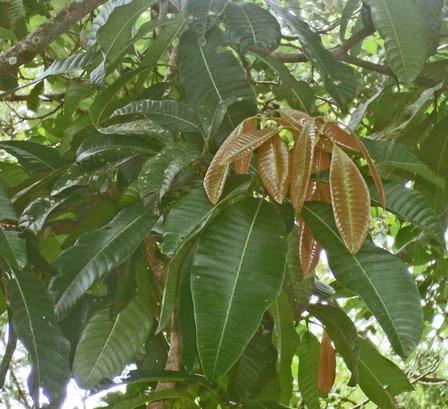 Cây muỗm,cây xoài hôi,Mangifera foetida Lour,họ Đào lộn hột,Anacardiaceae