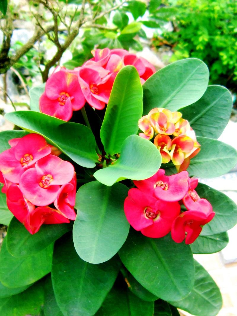 Xương rồng bát tiên,xương rắn,xương rồng tàu,ý nghĩa của xương rồng bát tiên,cách trồng xương rồng bát tiên,cây ngày Tết,cây may mắn,Euphorbia milii,họ đại kích,Euphorbiaceae