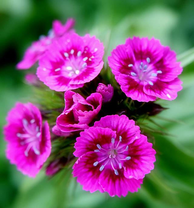 Hoa cẩm chướng,cẩm chướng thơm lùn,Dianthus barbatus