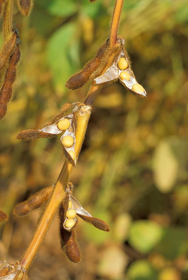 đậu tương,đỗ tương,đậu nành,glycine max,họ đậu,fabaceae