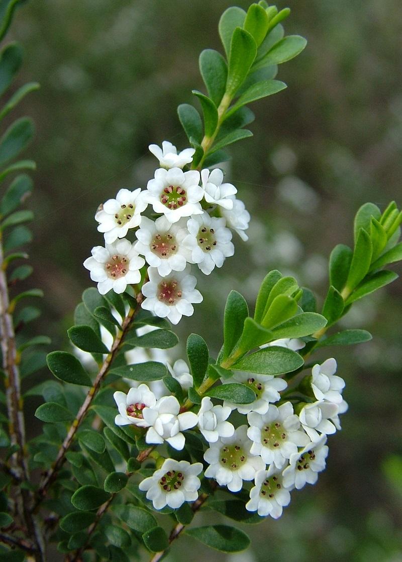 Thryptomene calycina,calycina,hoa đào kim nương,họ sim,họ hương đào,Rhodomyrtus,Myrtus,Myrtaceae