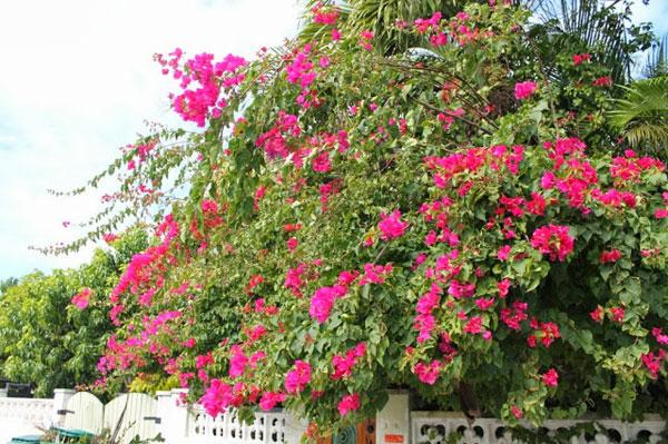 Hoa giấy,cây hoa giấy,cây bông giấy,bông giấy,Bougainvillea spectabilis willd,Bougainvillea