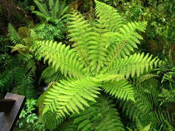 Trên thực tế, dương xỉ và dây leo thiên về tính âm, nếu mọc quá xanh tốt, sẽ khiến không gian sống ẩm ướt, ảnh hưởng đến sức khỏe. Vì thế, bạn nên kiểm soát chúng nếu trồng trong vườn nhà.