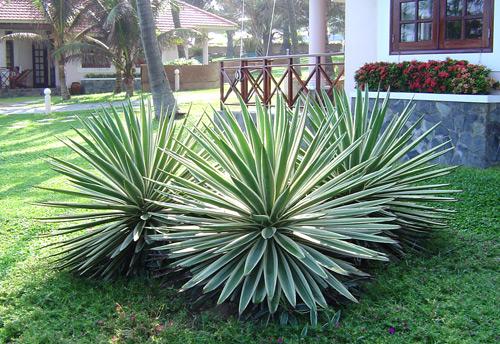 Thùa lá hẹp,thùa lá trắng,dứa lá trắng,cây thùa,Agave angustifolia,Agave breedlovei,Agave vivipara