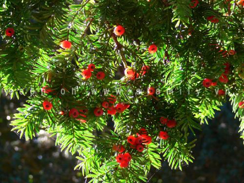 Thông đỏ,thông đỏ nam,Taxus wallichiana,Thông đỏ Himalayan,họ thanh tùng,họ thông đỏ,taxaceae,tác dụng của thông đỏ,thông đỏ chữa bệnh,tinh dầu thông đỏ