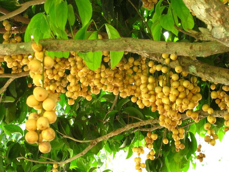 Dâu da đất ( cách gọi miền Bắc ) - Cây bòn bon ( cách gọi miền Nam )