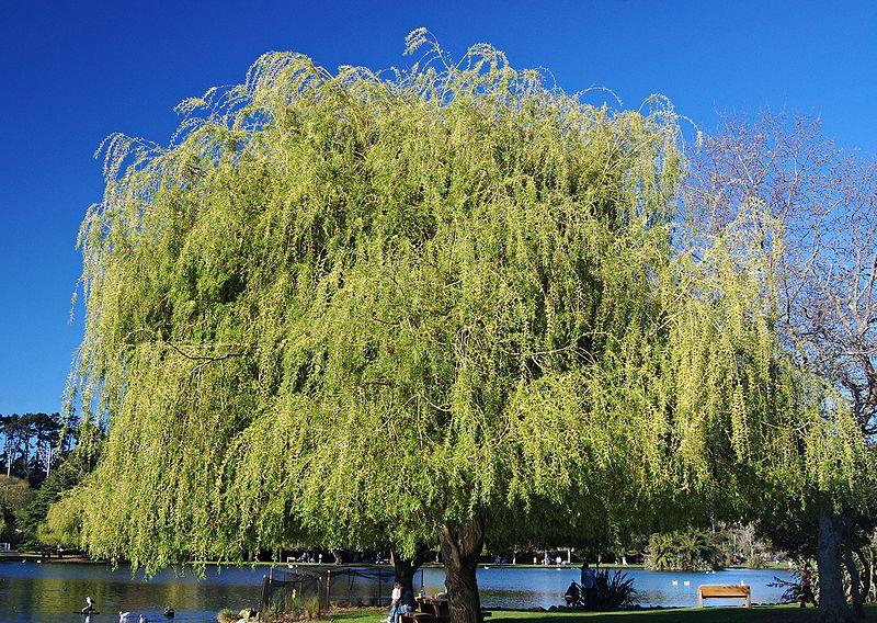 Chi liễu,cây liễu,các loài liễu,Salix,cây ngoại thất,cây phong cảnh,Liễu rủ tại Auckland, New Zealand