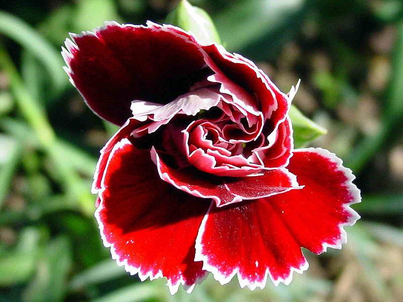 Hoa cẩm chướng,hoa cẩm nhung,ý nghĩa hoa cẩm chướng,chuyện về hoa cẩm chướng,sự tích hoa cẩm chướng,các loài cẩm chướng,Dianthus,Caryophyllaceae,Caryophyllales,Dianthus barbatus