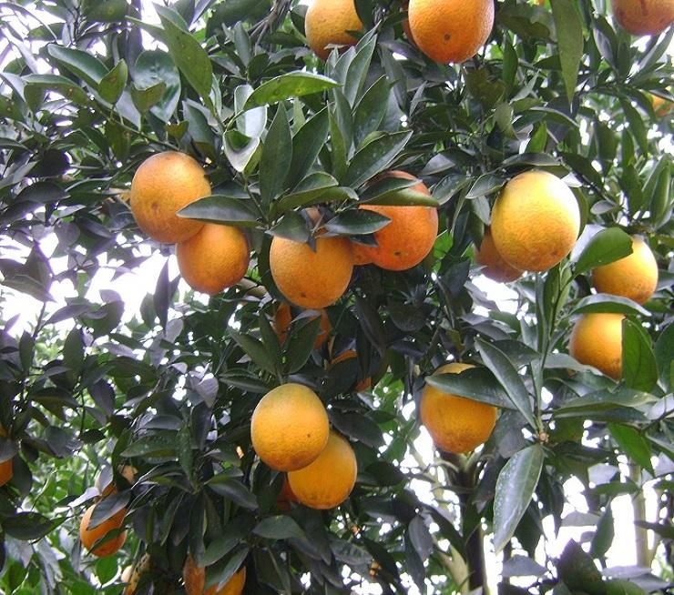 Cây cam,cam,quả cam,cam chanh,cam sành,Citrus sinensis,Orange,cây ăn quả
