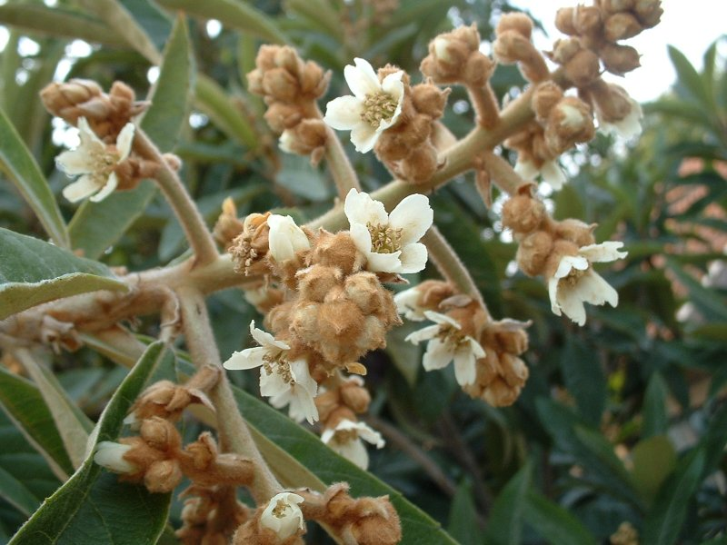 Hoa cây nhót tây