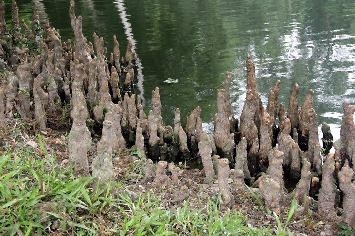 Cây bụt mọc,bụt mọc,Taxodium,Taxodium distichum,Taxodium ascendens,Taxodium mucronatum,bụt mọc ao,bụt mọc Montezuma