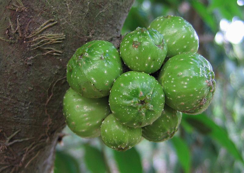 Cây ngái,sung ngái,tầm gửi cây ngái,Ficus hispida,họ dâu tằm,họ Dâu tằm,Moraceae,cây làm thuốc,tác dụng của cây ngái