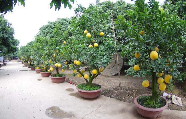 Cây bưởi trồng vào chậu để bán làm cây cảnh dịp Tết