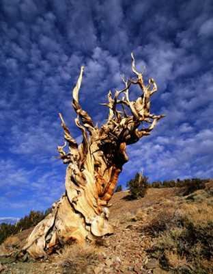 Cây Methuselah (California),cây nhiều tuổi nhất thế giới