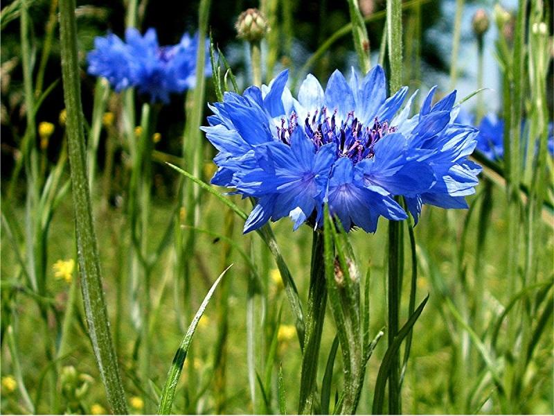 Hoa thanh cúc,hoa ngô,hoa cúc áo,hoa thanh bình,Centaurea cyanus,Bachelors button,Bluebottle,Boutonniere flower,Hurtsickle,Cyani flower,cornflower