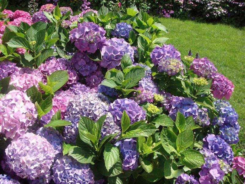 Chi tú cầu,tú cầu,Hydrangea,họ tú cầu,Hydrangeaceae