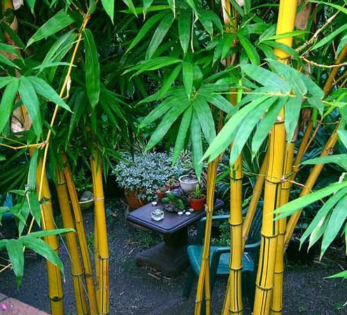 cây tre vàng sọc