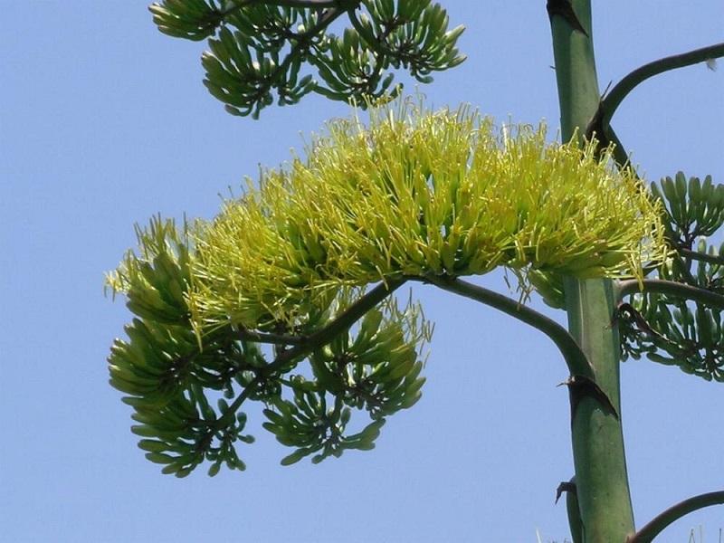 Dứa Mỹ,cây dứa mỹ,dứa sợi mỹ,Agave americana,cây thùa