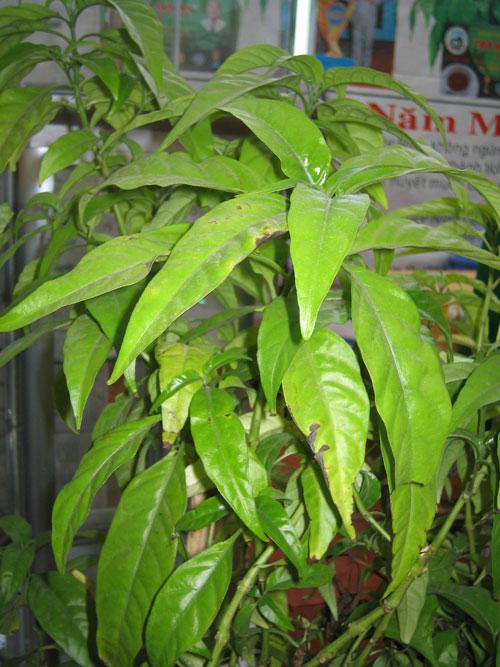 Cây Xuân hoa,cây hoàn ngọc,hoàn ngọc âm,tác dụng chữa bệnh của cây hòa ngọc,tác dụng chữa bệnh cây xuân hoa,nhật nguyệt,cây con khỉ,nội đồng,lay gàm,dièng tòn pièng,nhần nhéng,tu lình,seuderanthemum palatiferum,họ ô rô,acanthaceae