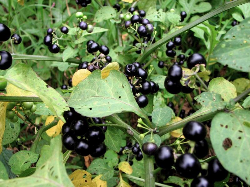 Cây lu lu,lu lu,lu lu đực,nụ áo,thù lu đực,cà đen,long quỳ,solanum nigrum,họ cà,solanaceae,lu lu chữa bệnh,bài thuốc từ cây lu lu