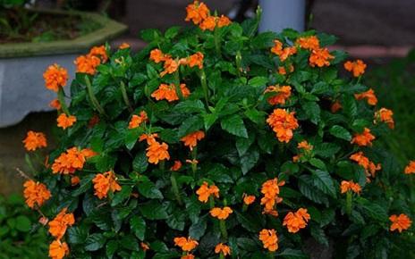 cây kim đồng cam