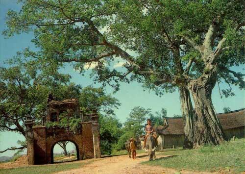 Cây đa cổng làng