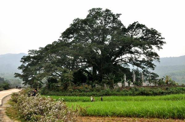 Cây đa nghìn tuổi bên đền thờ Tản Viên Sơn Thánh, cây đa xóm Quýt (Yên Bài, Ba Vì, Hà Nội)