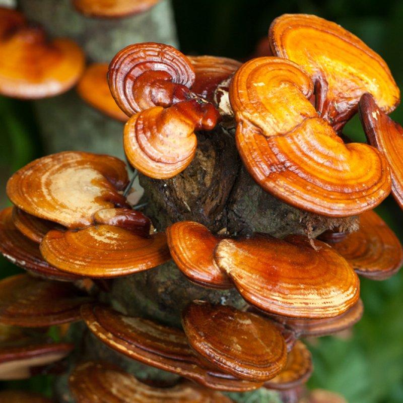 Nấm linh chi,Tiên thảo,Nấm trường thọ,Vạn niên nhung,Gnoderma lucidum,Nấm lim,Ganodermataceae,cây thảo dược