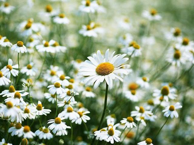 Hoa cúc họa mi,cúc họa mi,hoa cúc,Asteraceae,tùng cúc trúc mai