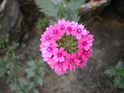 Hoa cúc Indo,Verbena hybrida,hoa cúc,họ cúc,Asteraceae,Compositae,họ Hướng dương