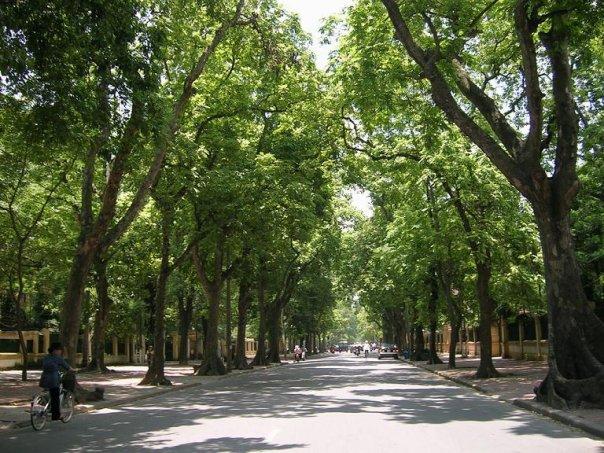 Hàng cây xà cừ hai bên đường phố