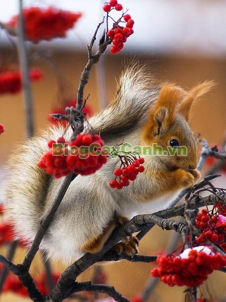 Cây Hoa Đào Ilex,Cây Hoa Đào Ilex, cây tết, cây hoa tết, Ilex, Winterberry, hình ảnh cây hoa đào ilex, hoa Trân Châu Ilex, hoa Trân Châu đỏ, cây đào đông đỏ, cây đào đông, cây hoa đào ilex đẹp, cây hoa đào ilex chưng tết,