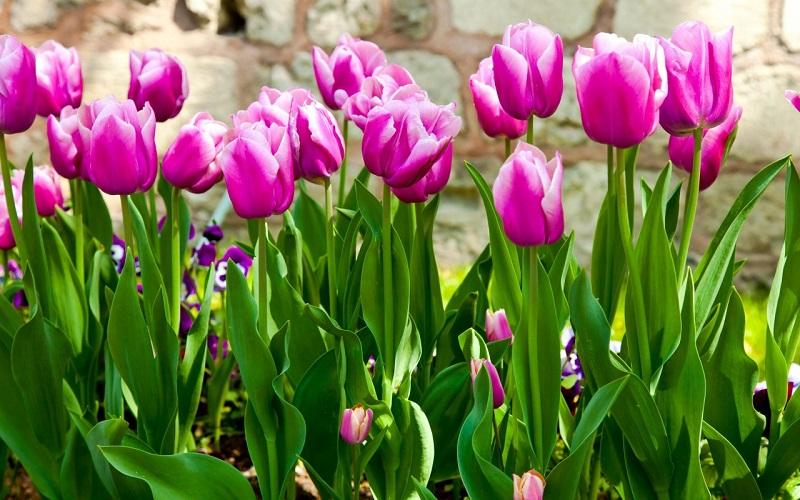Hoa Tulip,uất kim hương,uất kim cương,Tulipa,Liliaceae,hoa Hà Lan