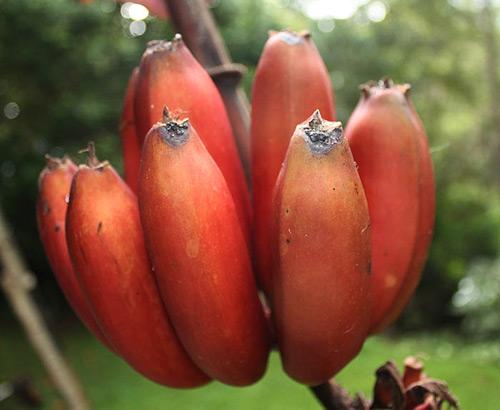 Cây chuối đỏ,cây chuối,chuối Dacca,chuối đỏ Dacca,banana