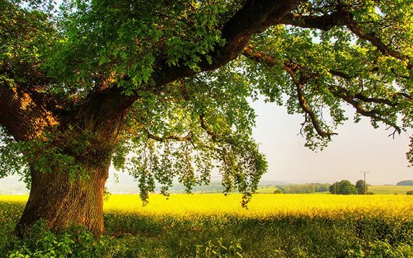 Cây sồi,sồi,cây sồi thần tiên,Quercus