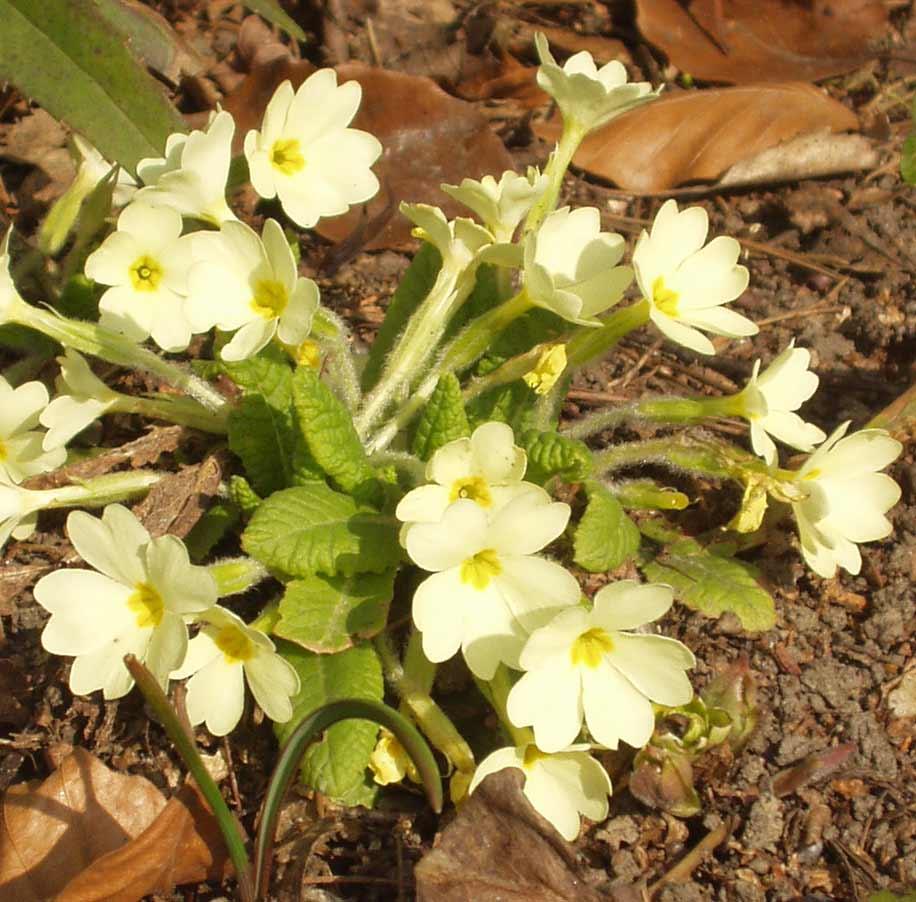 Chi anh thảo,chi báo xuân,Primula,Primulaceae,chi tai gấu,các loài anh thảo,Anh thảo Anh (Primula vulgaris)